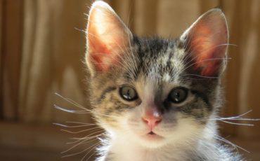 Kitten-Metta-1001×666